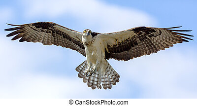 Osprey In Flight - Brown & White Osprey In Flight Against A...