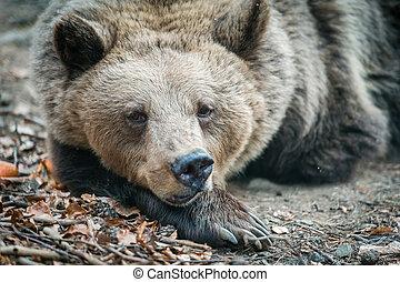 Brown wild dancing bear