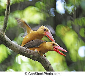 Brown-winged Kingfisher - Mating in action 6 : Brown-winged...