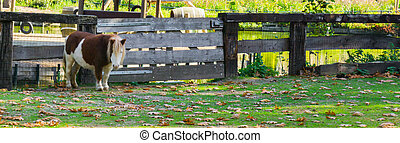 brown with white shetland pony standing in the pasture in front of a wooden gate