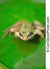 brown wood frog on a green waterlil