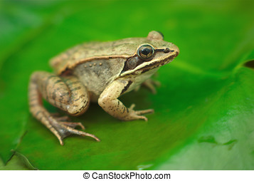 brown wood frog on a waterlily in a