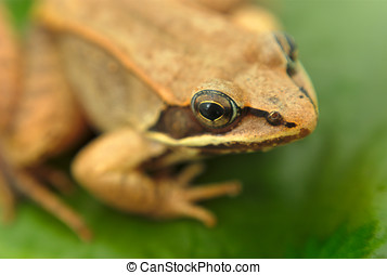 brown wood frog on leaf in a pond