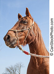 Brown Workhorse with Rope Harness on a Sunny Blue Sky Day