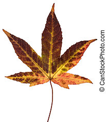 Brown yellow red Japanese maple leaf
