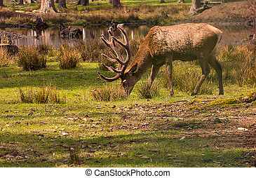 Brown young deer with branched new horns looking for food on a green field in sunlight