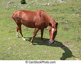 brown young horse grazing