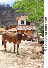Browns Mexican bull cow near village house.