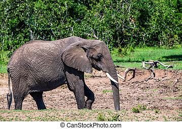 Browsing African elephant or Loxodonta cyclotis in Maasai-Mara national park, Kenya