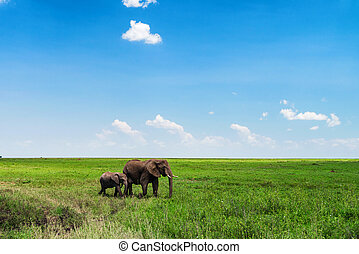 Young and adult African elephants or Loxodonta cyclotis in savannah