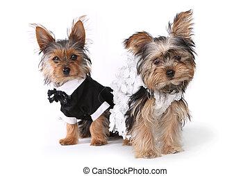 brud och brudgum, yorkshire terrier, valpar, vita