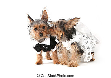 bruid en bruidegom, yorkshire terrier, hondjes, op wit