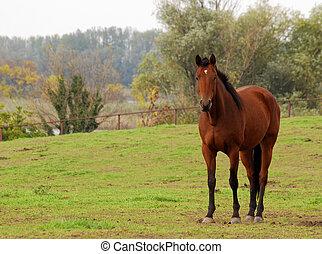 bruin paard, in, wei