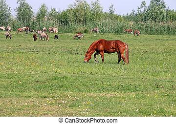 bruin paard, op, wei, zomer, seizoen