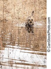 bruine , bastaard, op, een, lente, dag, staand, op, de, water, drinkwater, en, kijken naar van het fototoestel