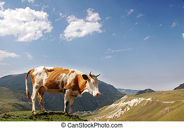 bruine , gedurende, zomer, koe, bergen