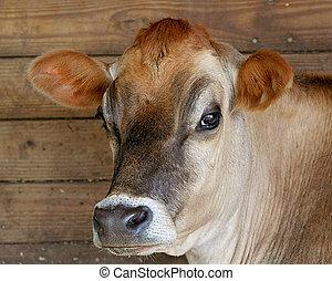 bruine , jersey koe