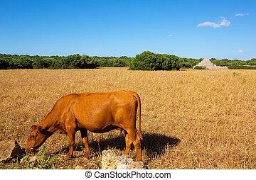bruine koe, gouden, ciutadella, akker, menorca, grazen