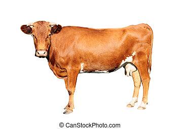 bruine koe