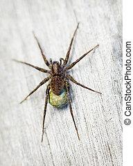 bruine , lycosidae, -, spin