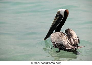 bruine pelican