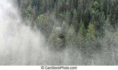 brume, carpathian, impeccable, arbres, montagnes, forêt