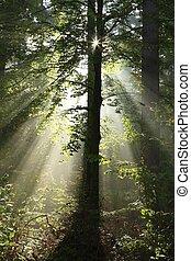 brumeux, backlit, forêt, arbres, soleil
