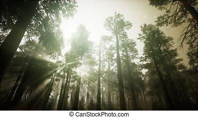 brumeux, coucher soleil, forêt séquoia, paysage