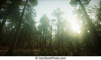 brumeux, coucher soleil, paysage, forêt, séquoia