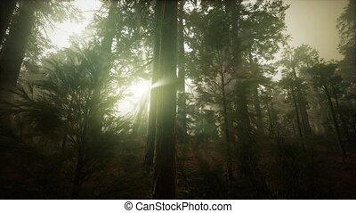 brumeux, coucher soleil, séquoia, paysage, forêt