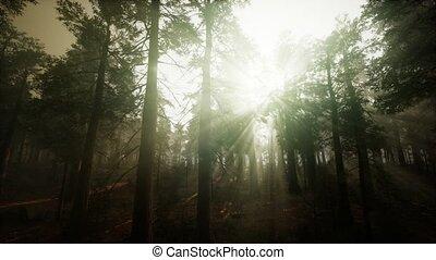 brumeux, forêt séquoia, coucher soleil, paysage