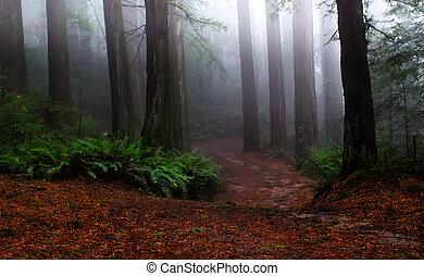 brumeux, forêt séquoia