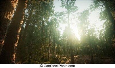 brumeux, paysage, forêt séquoia, coucher soleil
