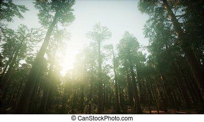 brumeux, paysage, séquoia, coucher soleil, forêt