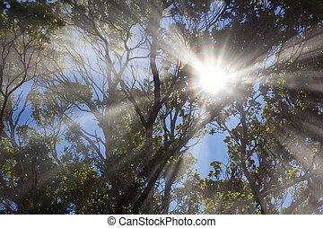 brumeux, soleil, arbres, hawaï, par, briller