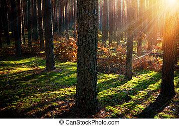 brumeux, vieux, forest., automne, bois
