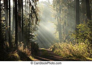 brumoso, bosque de otoño, en, amanecer
