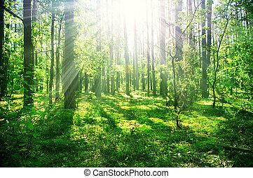 brumoso, viejo, bosque
