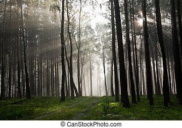 brumoso, viejo, brumoso, bosque