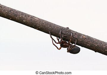brun, araignés, isolé