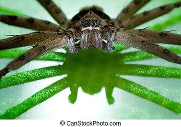 brun, araignés