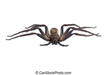 brun, blanc, araignés, fond, isolé