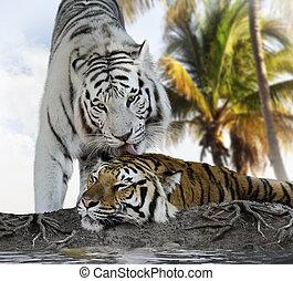 brun, blanc, tigres