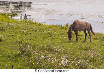 brun bygelhäst, på, kust, av, insjö, -, ostroh, ukraine.