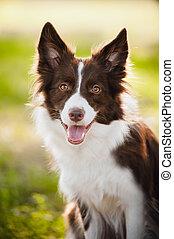brun, colley, frontière, chien, heureux