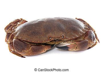 brun, comestible, crabe