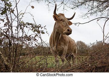 brun, concept, spring., pré, vache, nombre, sien, closeup, bétail, élevage, oreille, pâturage, agriculture