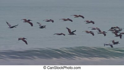 brun, costa, pélicans, voler, eau, au-dessus, surface, rica