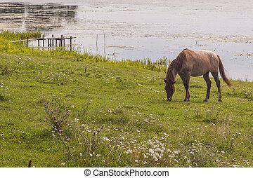brun, Häst,  -, insjö, kust, Ukraina,  ostroh
