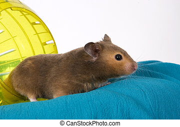 brun, hamster